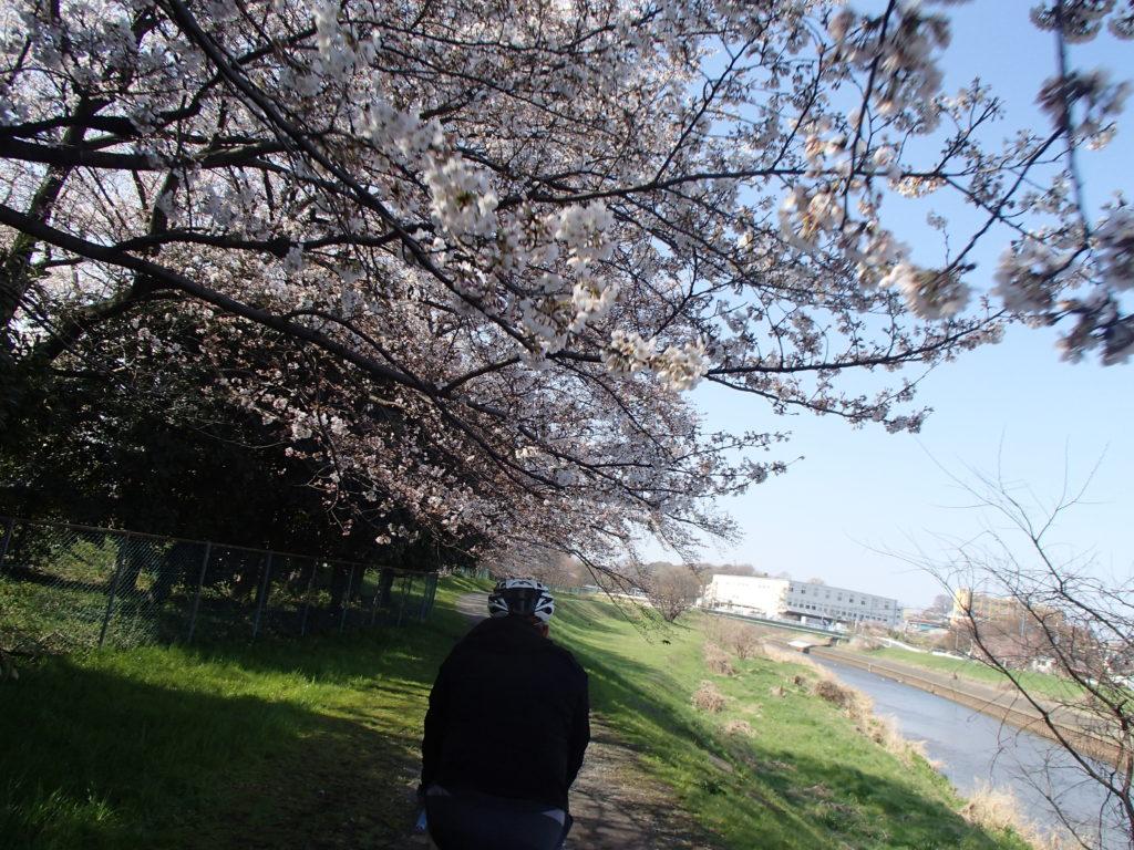 桜も綺麗に咲いています!MTBモーニングライドいってきました!